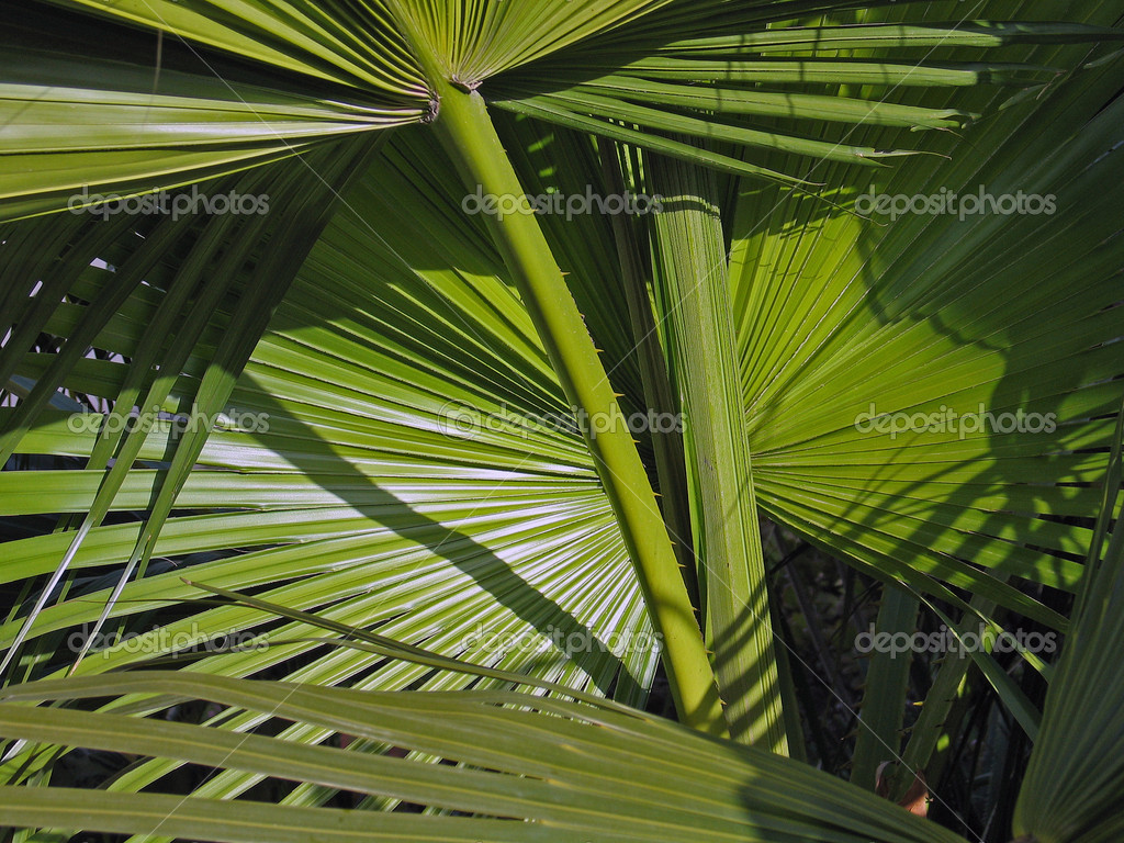 Leaves of tropical palm fronds tree nature background  Stock Photo #8994964