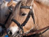 美しいフレンドリーな馬の肖像画 — ストック写真