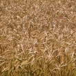 Wheat grain field summer background — Stock Photo