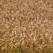Wheat grain field summer background — Stock Photo #9012417