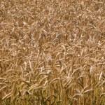 Wheat grain field summer background — Stock Photo