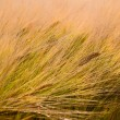 Wheat grain field in the wind — Stock Photo