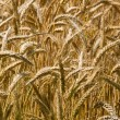 Golden ripe wheat grain - Stock Photo