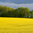 Blooming yellow rape field — Stock Photo