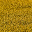 Blooming yellow rape field — Stock Photo #9024337