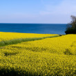 Blooming yellow rape field - clean future — Stock Photo