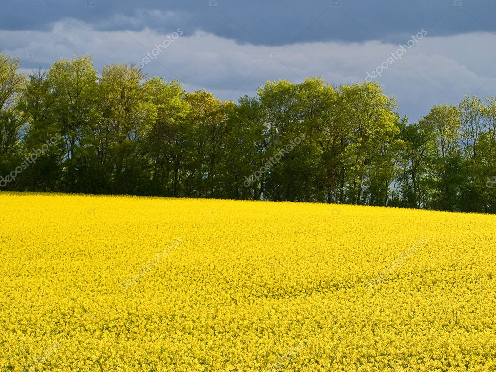 Blooming rape flowers field - modern alternative energy background — Stock Photo #9024270