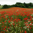 Field of poppies poppy flowers — Photo