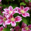 Beautiful pink purple clematis — Stock Photo #9116874