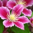 Beautiful pink purple clematis — Stock Photo #9116893