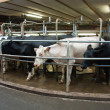 Stock Photo: Modern creamery milking parlour