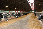 Modern farm cowshed with cows — Stock Photo