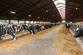 Moderne boerderij stal met koeien — Stockfoto