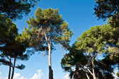 Tall pine trees nature background — Stock Photo