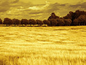 Beautiful wheat field digital art manipulation — Stock Photo