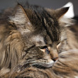 Portrait of Siberian cat — Stock Photo
