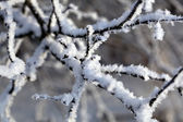 Detail of snow covered branch — Stock Photo