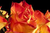 Orange roses on black — Stock Photo