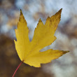 Stock Photo: Autumn Yellow Leaf