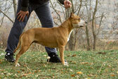 Dog training - stafford profile — Stock Photo