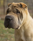 Sad Dog Portrait - Shar Pei — Stock Photo