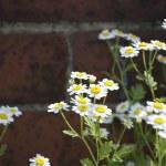 Daisies Close Up — Stock Photo #9196244