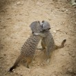 Meerkats Hugging in Love - Photo