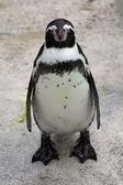 Grumpy Penguin — Stock Photo