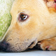 Dog with sad expression — Stock Photo #8757465