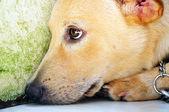 Dog with sad expression — Stock Photo