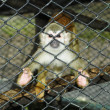 Baby monkey in a cage - Stockfoto