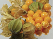 Physalis alkekengi winter cherry on a white background , Cape gooseberry, Physalis — Stock Photo