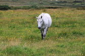 Caballo gris — Foto de Stock