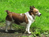 Jack Russell — Stock Photo