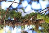Neve sul ramoscello — Foto Stock