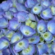 Stock Photo: Blue hydrange- hortensi- flower