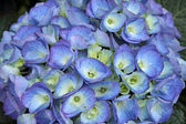 Blue hydrangea - hortensia - flower — Stock Photo
