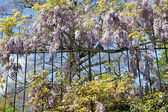 Flowering lilac wisteria on metal hence, Italy — Stock Photo