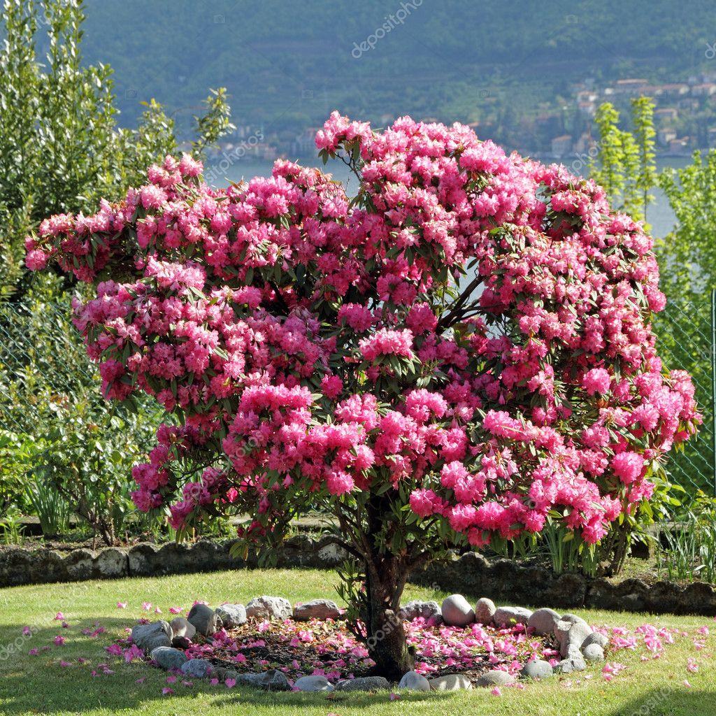 Floraci n rosa rododendro en jard n fotos de stock - Rododendro arbol ...