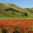 Italian landscape with red poppies — Stock Photo