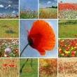 Collage with flowering poppies — Stockfoto