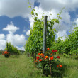 Growing viticulture and roses — Stock Photo