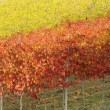 Yellow and red viticulture — Stock Photo
