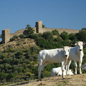 Cows and castle — Stock Photo