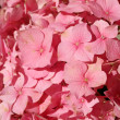 Flowering pink hydrangea — Stock Photo