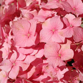 Flowering pink hydrangea — Stock Photo