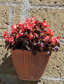 Red begonia in pot on wall, Tuscany — Stock Photo