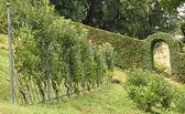 Shaped pear trees on trellis in italian orchard — Stock Photo