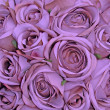 Violet rose pattern — Foto Stock