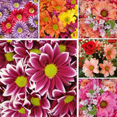 Collage with daisies — Stock Photo
